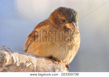 House sparrow (Passer domesticus): portrait, close-up, visible reflection in the eyes.