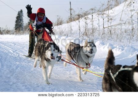 POLAZNA, RUSSIA - JANUARY 21, 2018: the sportsman controls sledges harnessed by Siberian huskies, during the dog sled race in the Perm region
