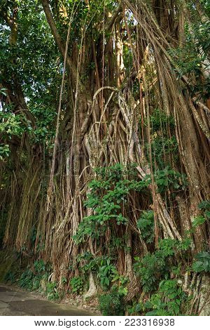 Big Indian rubber tree (Ficus elastica), also called the Rubber fig in Hong Kong, China.