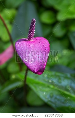 Close-up of a wet purple Flaming lily (Anthurium andraeanum) flower.