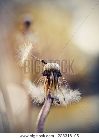Autumn fluffy white flower of a dandelion. Dandelion seeds.