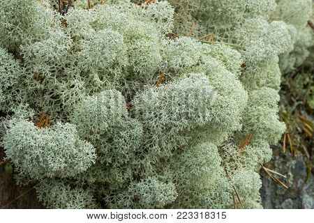 Close-up of mounds of Star-tipped Reindeer Lichen (Cladina stellaris) (or Northern Reindeer Lichen or Star Reindeer Lichen).