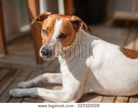 15 months old Danish Swedish Farmdog. This breed, which originates from Denmark and southern Sweden is lively and friendly.