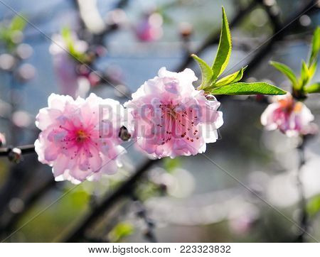 Sakura, cherry blossom, cherry tree with flowers. Oriental cherry blooming