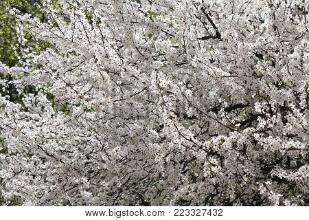 Thousands of white flowers. A deciduous tree (Prunus domestica)