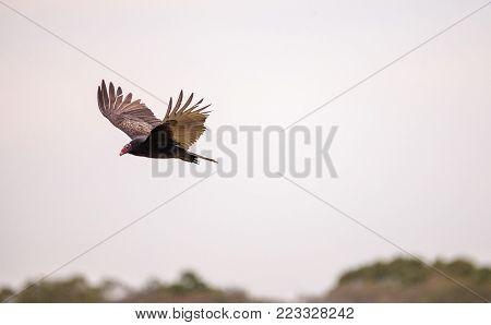 Turkey Vulture Cathartes Aura At The Myakka River State Park