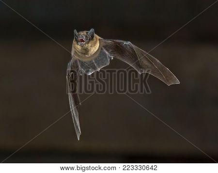 Flying Pipistrelle Bat On Wooden Attic