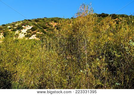 Willow Trees changing autumn colors during autumn foliage taken at a riparian woodland in the San Gabriel Mountains, CA