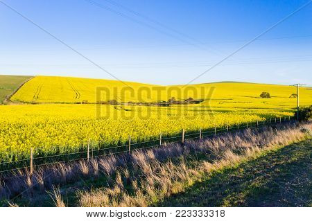 Rapeseed fields along the road from Karoo to Franschhoek, South Africa. Yellow fields background
