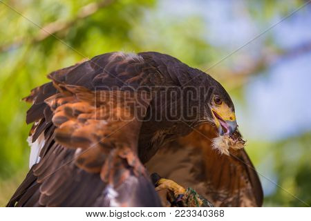 Buzzard - Buteo - Harris's hawk over a wooden pole while eating a chick.