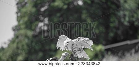 Nyctea scandiaca - Bubo scandiacus - Snow white owl while eating a chick laid on the falconer's glove.