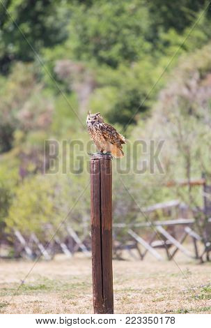 Bubo bubo - Real owl over a wooden pole with open beak.