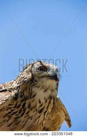 Bubo bubo - Real owl while eating a chick.