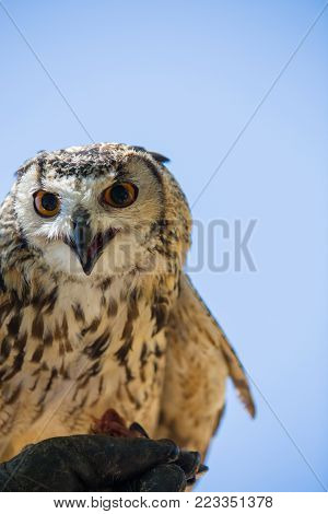 Bubo bubo - Real owl while eating a chick on the falconer's glove.