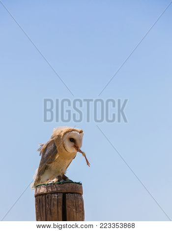Tyto alba - Barn owl over a wooden pole while eating a chick.