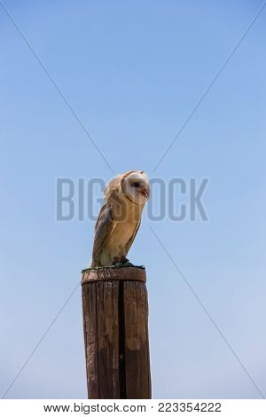 Tyto alba - Barn owl over a wooden pole.
