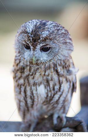 Strix aluco - tawny owl on the falconer's glove. poster