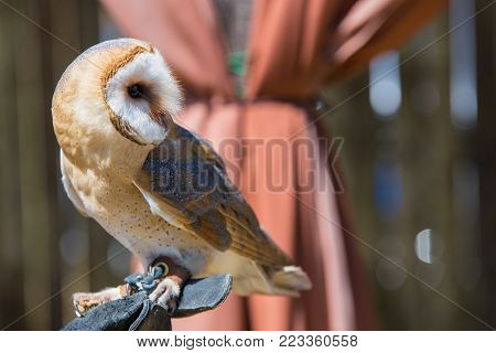 Tyto alba-Barn owl on the falconer's glove.