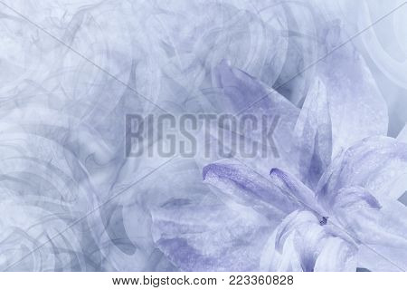 Floral  abstract light gray-white-violet background.   Petals of a lily flower on a white-violet frosty background. Close-up. Flower collage for postcard.  Nature.