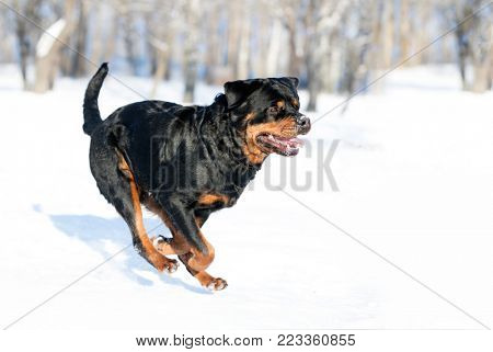 Rottweiler plays in the snow