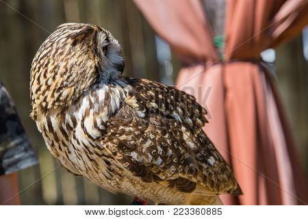 Bubo bubo - Real owl With the head turned 180 degrees.