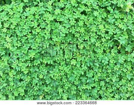 Clover background. A shamrock is a young sprig of clover, used as a symbol of Ireland. Saint Patrick, Ireland's patron saint, is said to have used it as a metaphor for the Christian Holy Trinity.