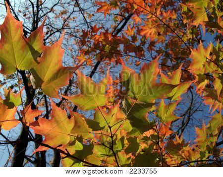 Sugar Maple Leaves In Autumn Glory