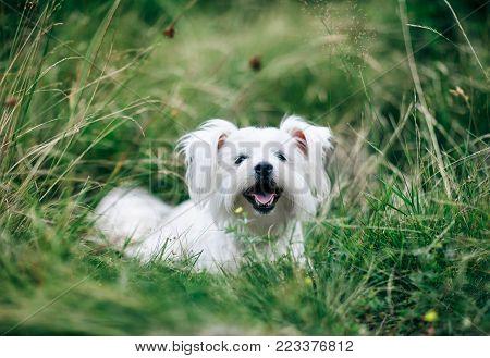 White Cute Dog Running On Green Field Towards Camera