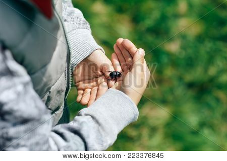 Boy holds captured beetle in palm of his hand, close-up. Large shiny black chafer creeps along palm of hand. Baby gently holding Maybug