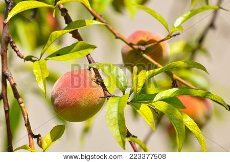 Ripe peach on a branch. Fresh organic peaches