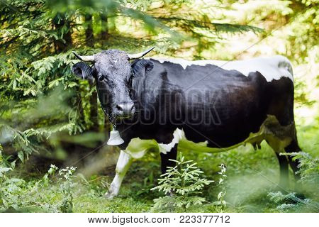 Cow with a bell in the forest thicket, close-up. The horned pet was lost in the forest