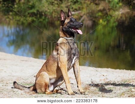Portrait of the young  Belgian Malinois sheepdog