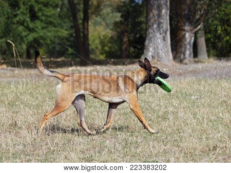 The  dog Belgian Malinois dog brings a disk on command