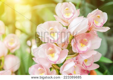 Orchid flower in orchid garden at winter or spring day for postcard beauty and agriculture idea concept design. Cymbidium Orchid or Pink hybrid orchid.