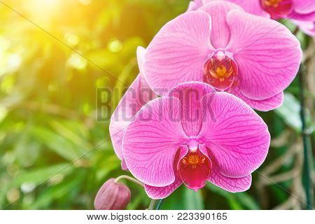 Orchid flower in orchid garden at winter or spring day for postcard beauty and agriculture idea concept design. Phalaenopsis Orchid. Hybrid orchid.