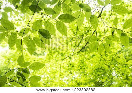 Fresh green hornbeam maple leaves under green forest