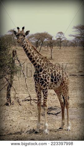 Giraffe eating in the sabana of Africa