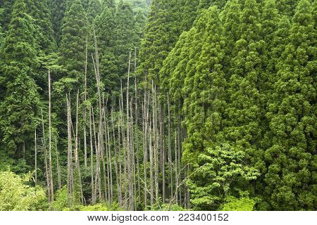 Green coniferous forest and dead trees in Oita