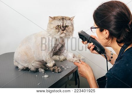 Cat grooming in pet grooming salon. Woman uses the trimmer for trimming paws.