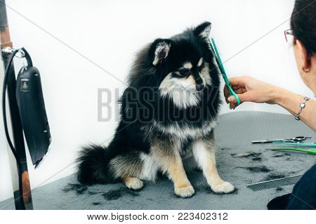 Black Pomeranian spitz in the grooming salon, groomer using scissors and cutting fur. Haircut dogs, care for a dog's fur