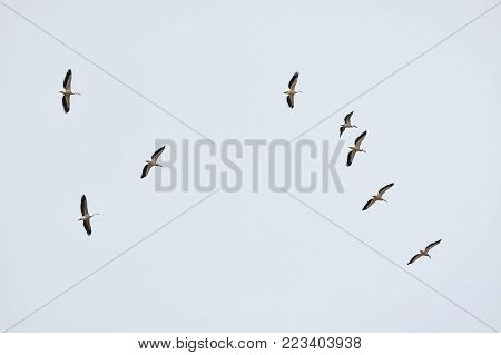 Flock of wild flying birds and bright sky in the background