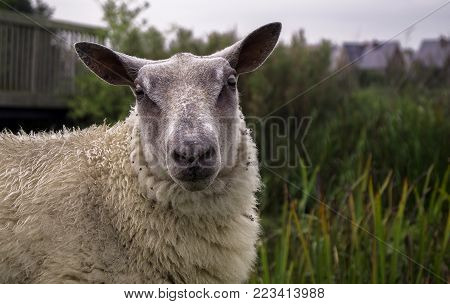 a white sheep looking into the camera with copy space left on the right side