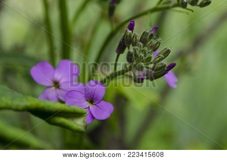 Hesperis matronalis, little purple flowers with four petals. Also known as dame's rocket, damask violet, dames-wort, night-scented, queen's, rogue's, summer lilac, sweet, mother-of-the-evening and winter gilliflower