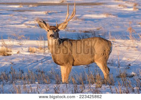 Wild Deer In the Colorado Great Outdoors - Busted Mule Deer Buck