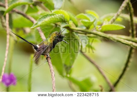 close up Wire-crested Thorntail, bird in its natural habitat, hummingbird sitting on a branch bushes, green hummingbird in a green environment, south america, ecuador