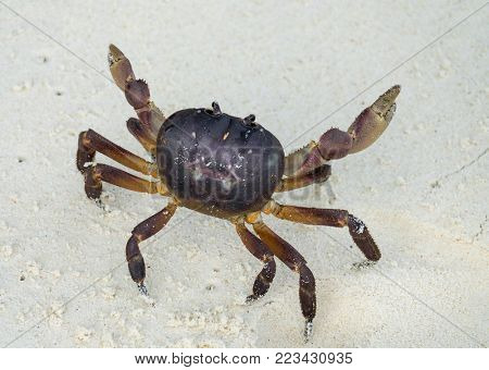 Crab with raised claws ready to attack on white sand beach
