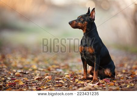 cute miniature Pinscher on the nature of the portrait