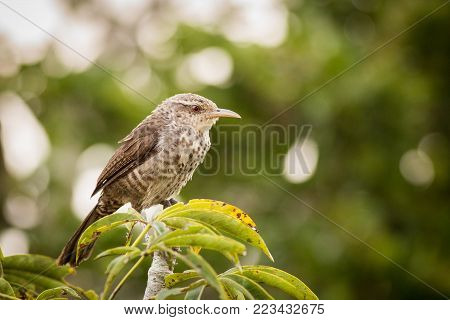 close up Thrush-like Wren, bird in its natural habitat, nice unobtrusive bird in the rainforest, speckled bird sitting in a tree, south america, ecuador