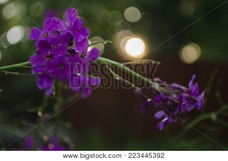 Hesperis matronalis, little purple flowers with four petals. Also known as dame's rocket, damask violet, dames-wort, night-scented, queen's, rogue's, summer lilac, sweet, mother-of-the-evening and winter gilliflower. macro close up soft focus bokeh