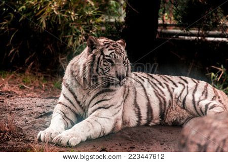 White tiger.White tiger lays in the zoo aviary.Siberian tiger, Amur tiger.